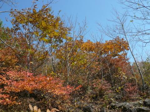 泉ヶ岳の紅葉1100m付近.JPG